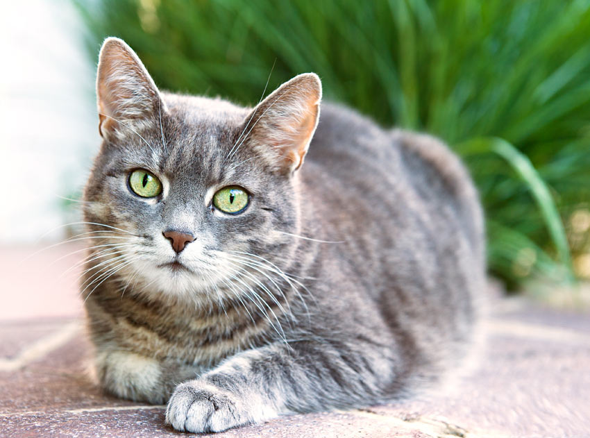 A healthy house cat with a beautiful grey patterned coat