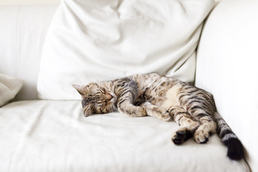 A lazy adult cat stretched out sleeping on the sofa