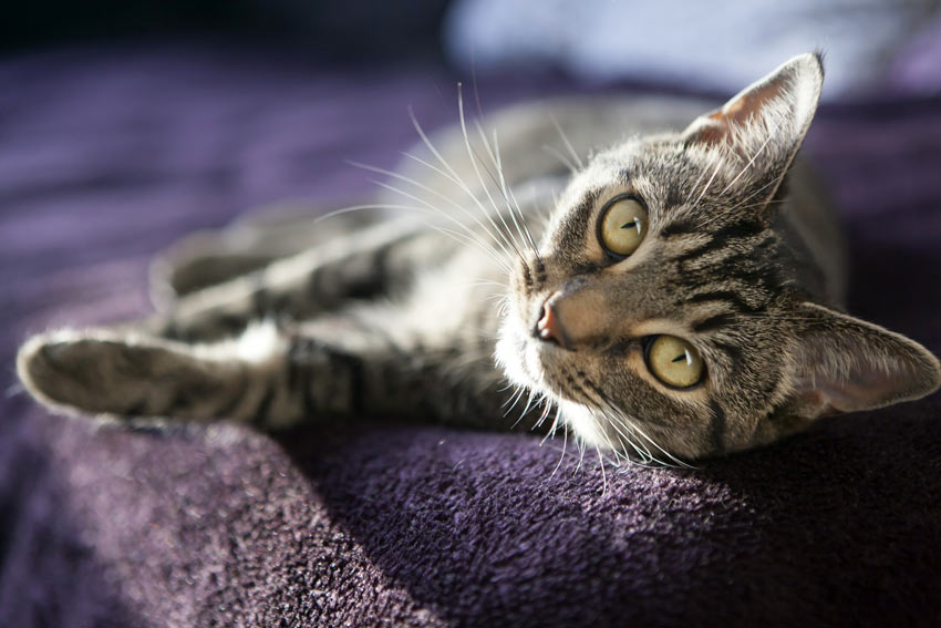 A lazy tabby cat lolling on the sofa