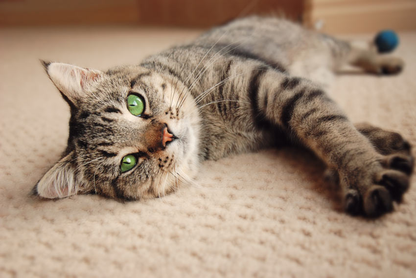 A moggy tabby cat lying down on the carpet with its paws stretched out