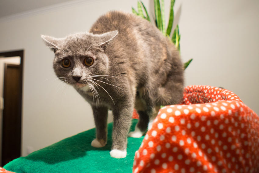 A scared cat showing the arched back and flattened ears