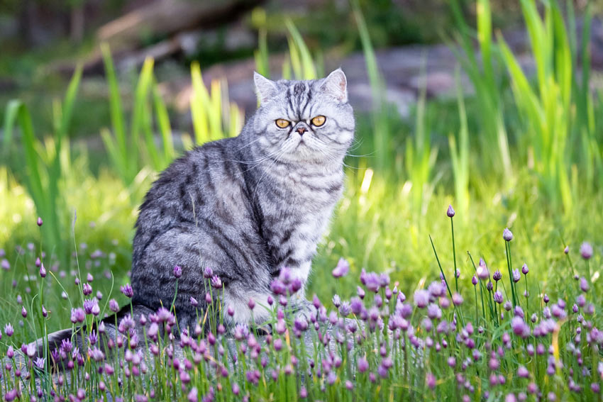 A silver spotted Exotic Shorthair Cat sitting in the garden