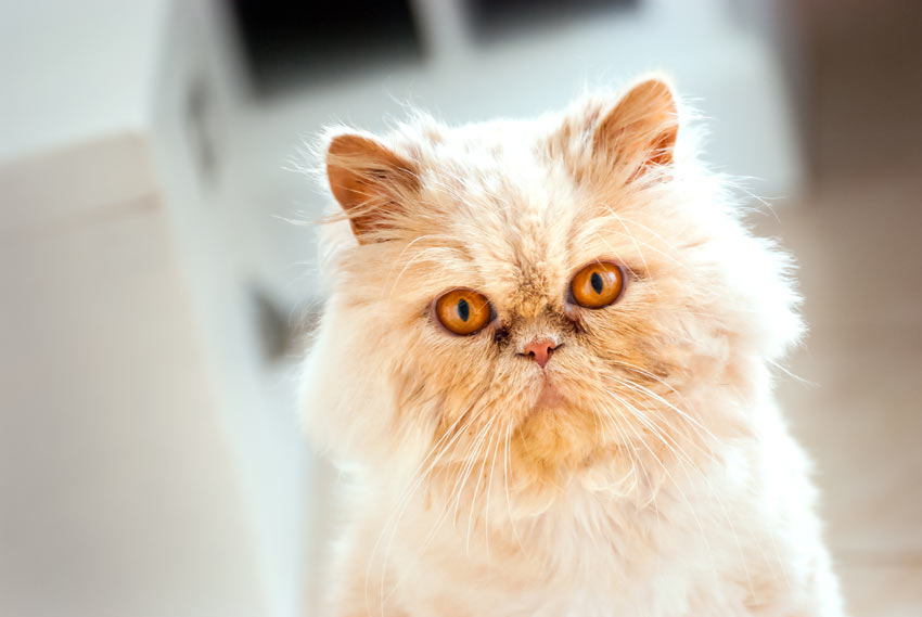 A sociable and friendly Persian cat