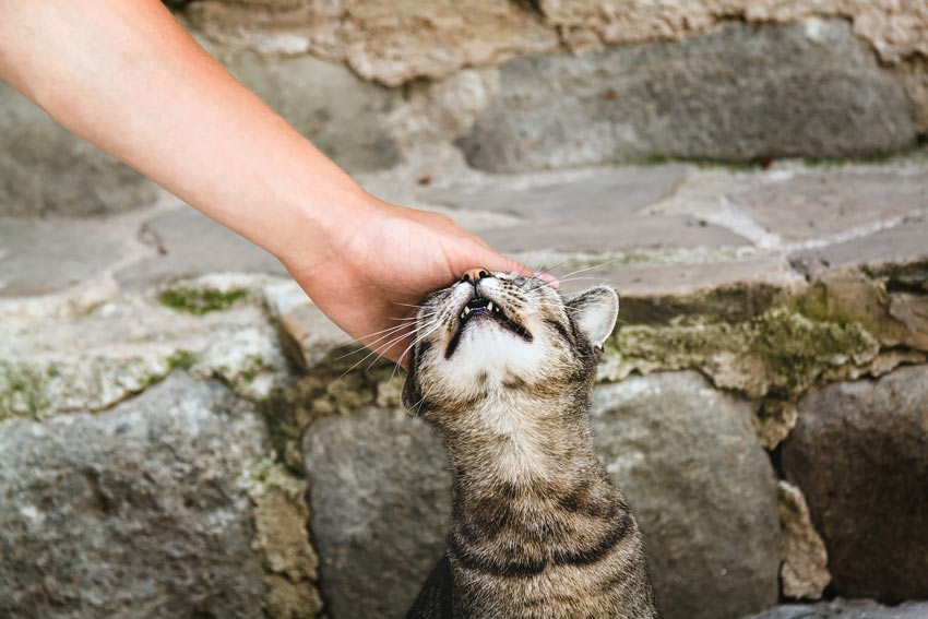 A tabby cat rubbing its face on its owners hand