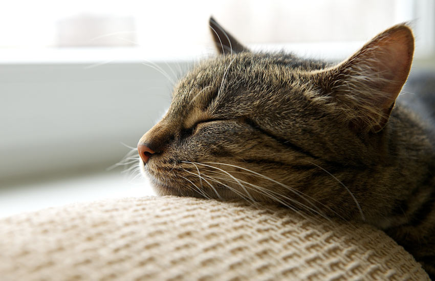 A tired tabby cat resting its head on the sofa