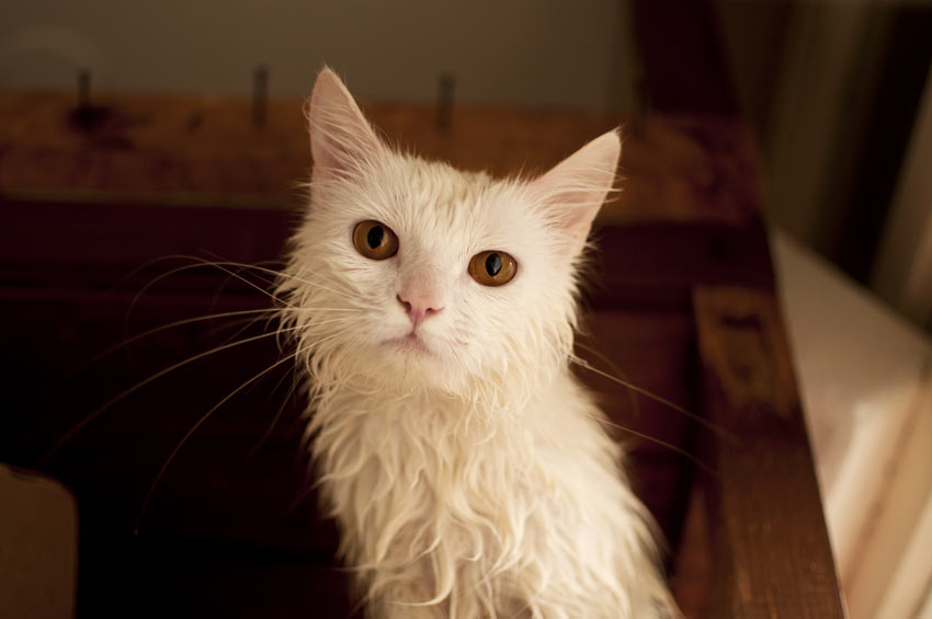 A wet cat that needs drying after just having a bath