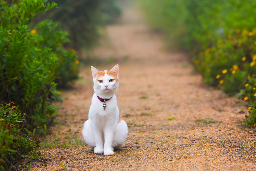 A white and ginger cat sitting on a gravel path