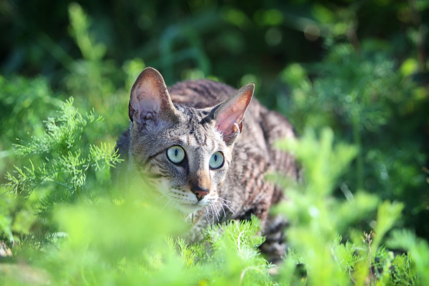 A wonderful young Cornish Rex cat creeping in the bushes