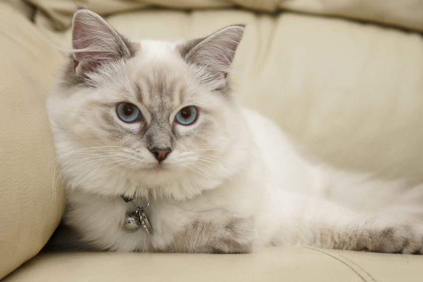 A young Ragdoll cat with an adorable cuddly nature