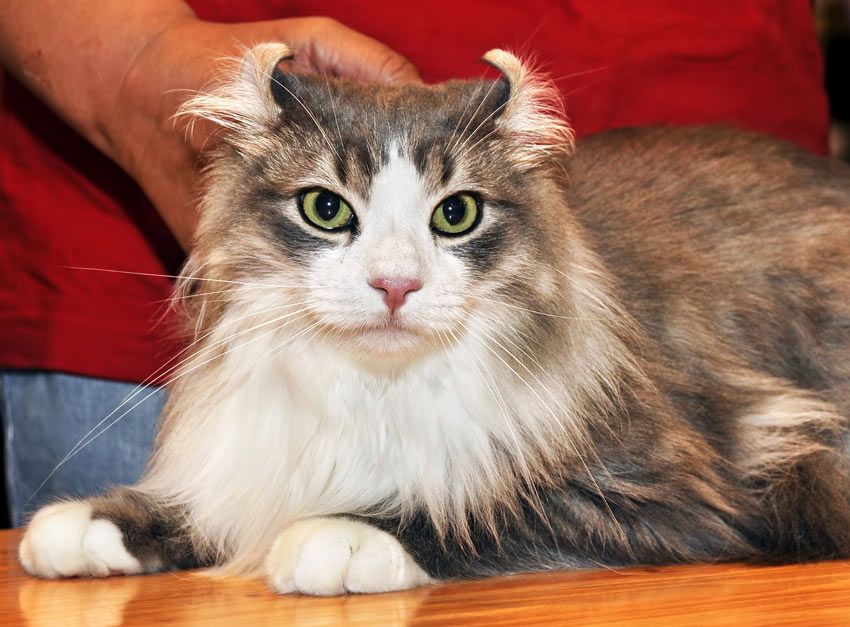 An American Curl cat with incredible back curled ears and green eyes