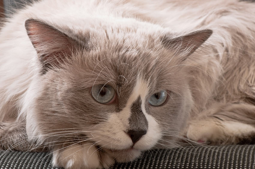 An adorable Ragdoll Cat perfect for living indoors