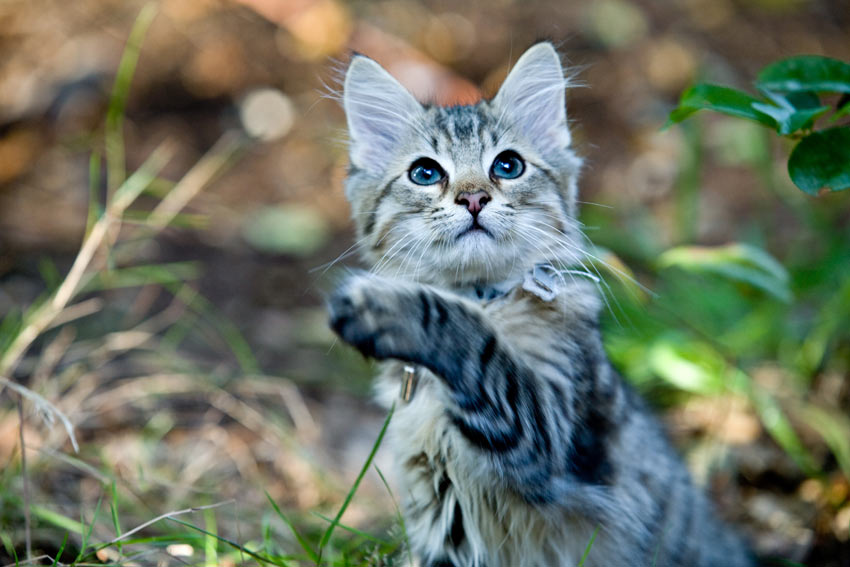 An adorable young kitten playing outside
