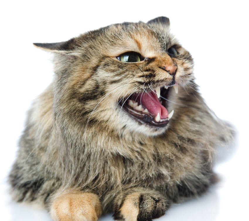 An angry cat with flattened ears an open mouth and dilated pupils