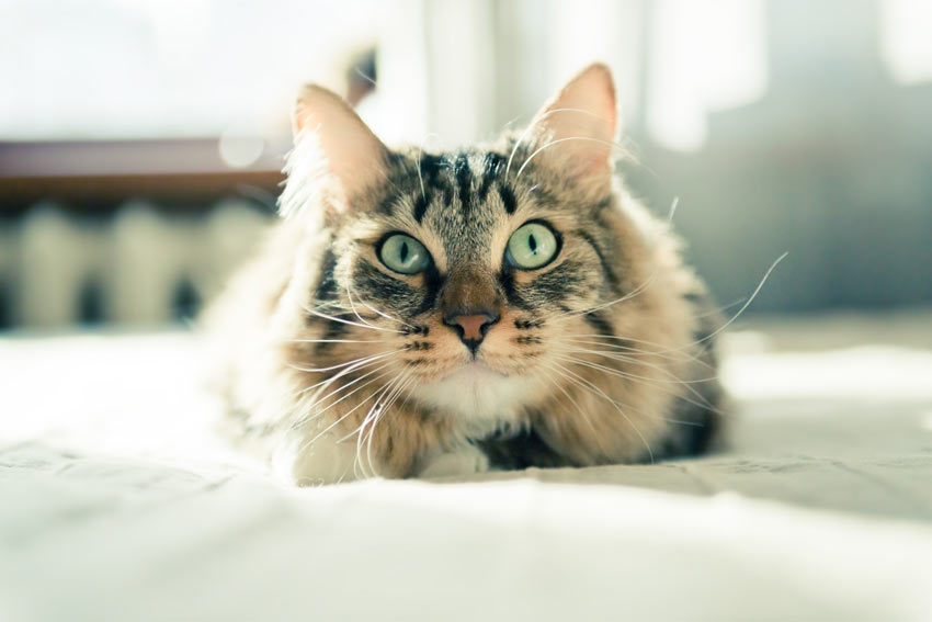 An incredibly beautiful tabby cat with great big eyes and pointed ears