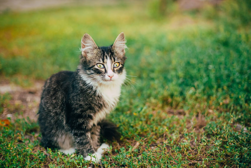 An unneutered cat might stray further than you think