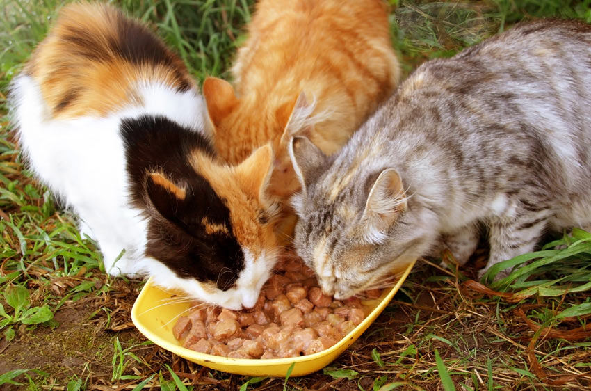 Three cats being fed outside