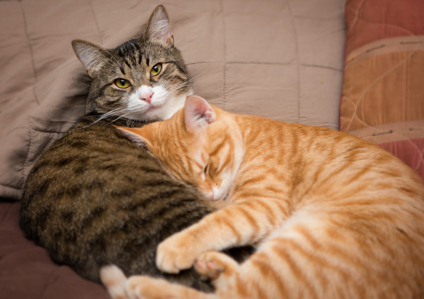 Two cats sleeping together one using the other as a pillow