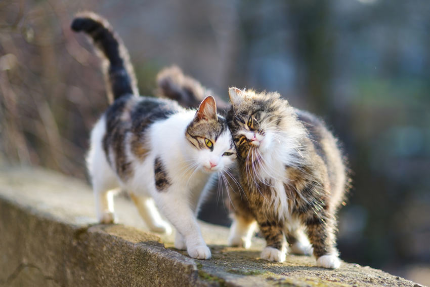 Two domestic cats enjoying each others company wondering outside