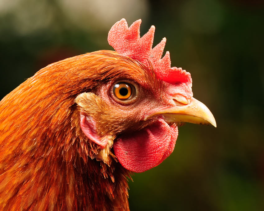 A beautiful ginger hen with a healthy beak and eyes