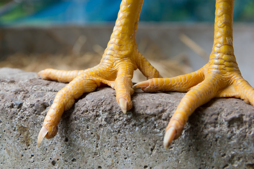 A close up of a Healthy Pair of Chicken Feet