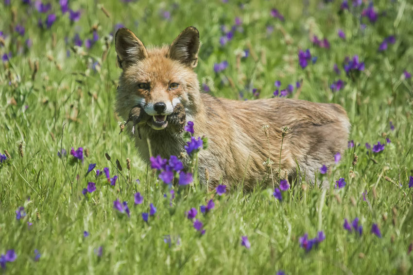 A crafty fox hunting in the daytime