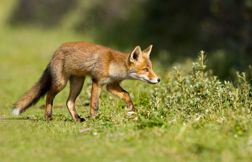 A fox on the hunt for something tasty