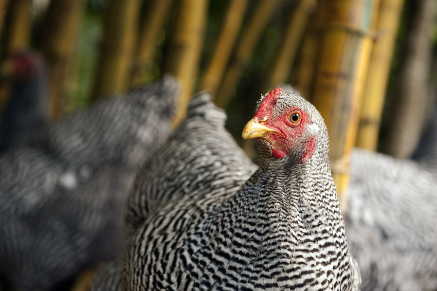 A healthy Dominique chicken with a beautiful set of black and white feathers