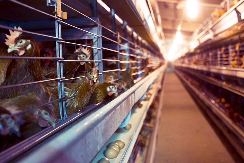 Battery hens living inside cages in a battery farm factory