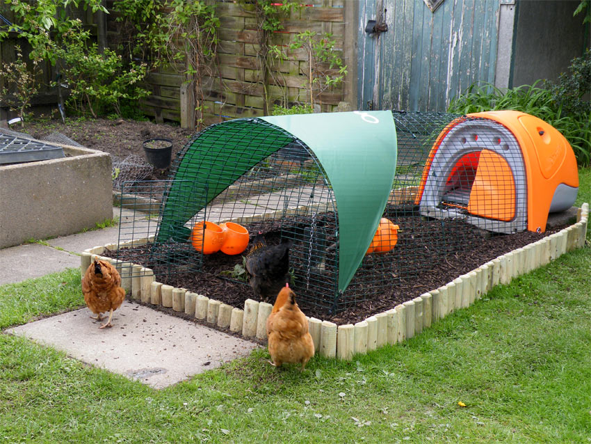Introducing our chickens to their new orange Omlet classic chicken coop