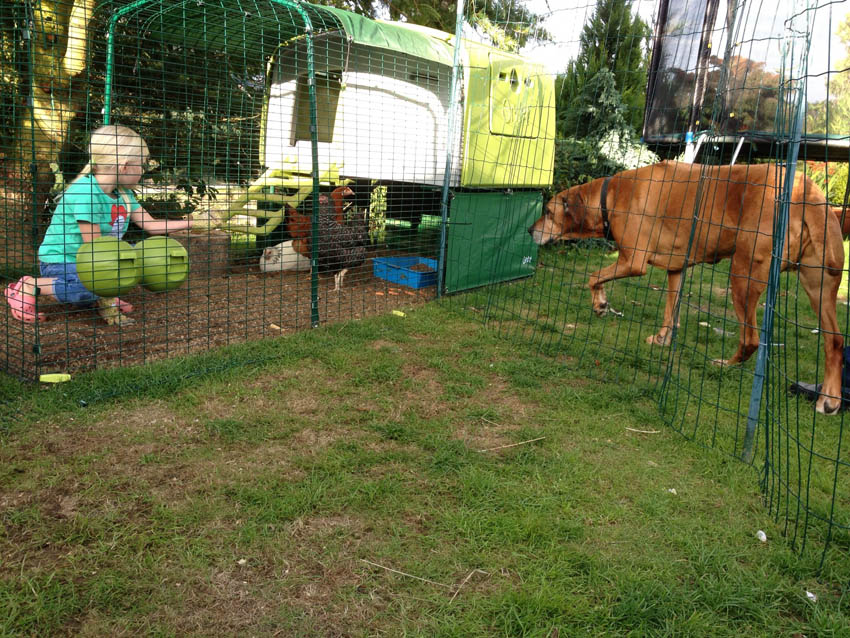 Lucy Milne's beautiful big dog saying hello to her happy hens in their Eglu Cube