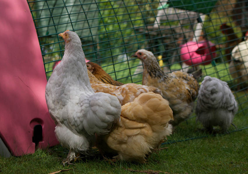 Rachael Harris introducing her brood of lovely hens to their new Eglu Classic