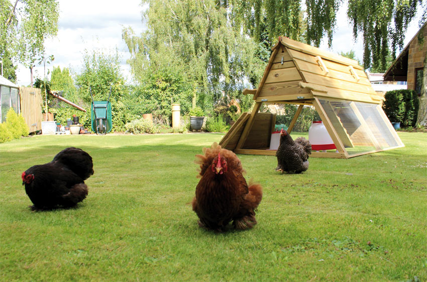The Boughton chicken coop being used by a brood of bantams