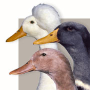 Duck Breeds