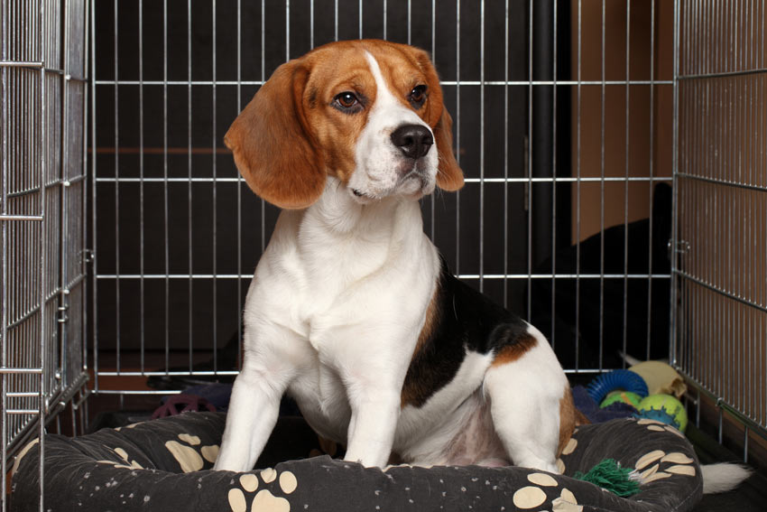 A Beagle in a dog crate at its owners work place