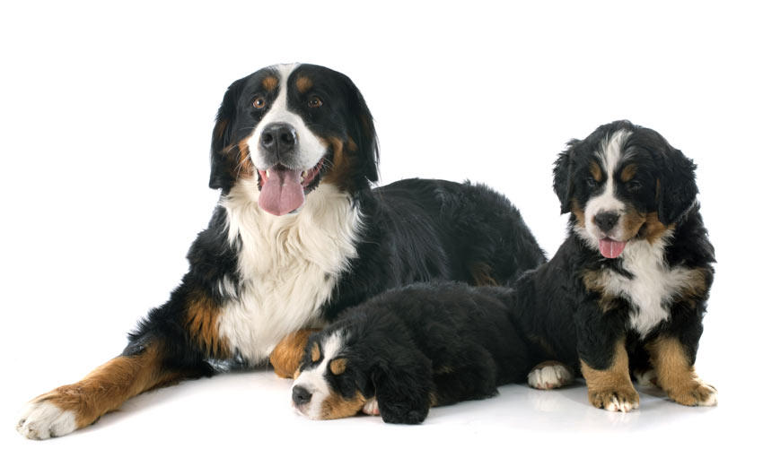A Bernese Mountain Dog lying down with her puppies