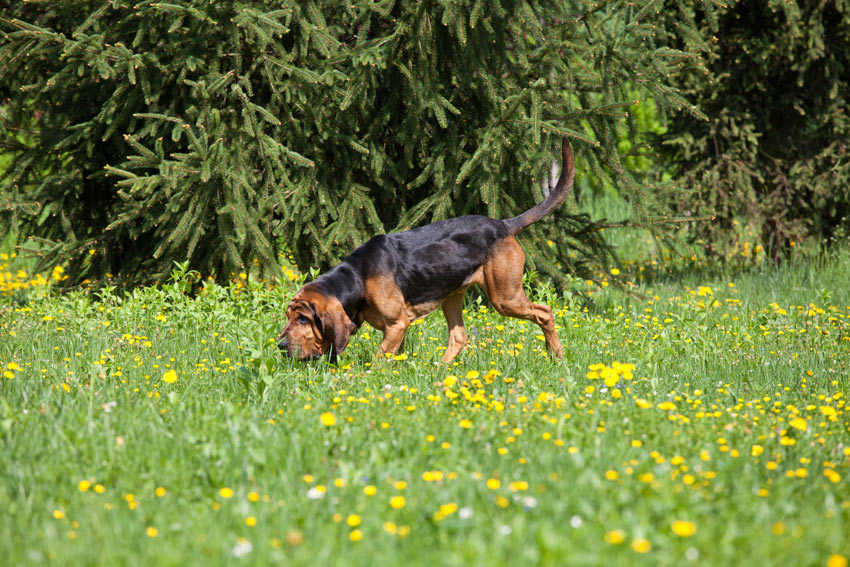 A Bloodhound Following Scent