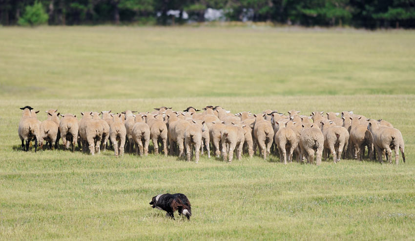 A Border Collie moving a flock of sheep