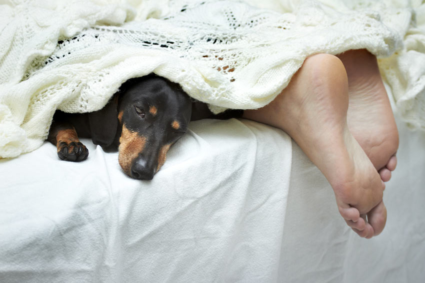 A Dachshund sleeping in bed with its owner at night