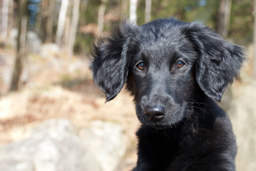 A Flat Coated Retriever who loves to mouth peoples arms