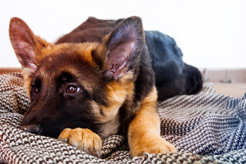 A German Shepherd puppy lying on a clean and comfortable blanket
