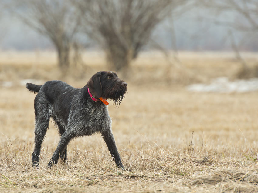 A German Wirehaired Pointer that has webbed feet for swimming