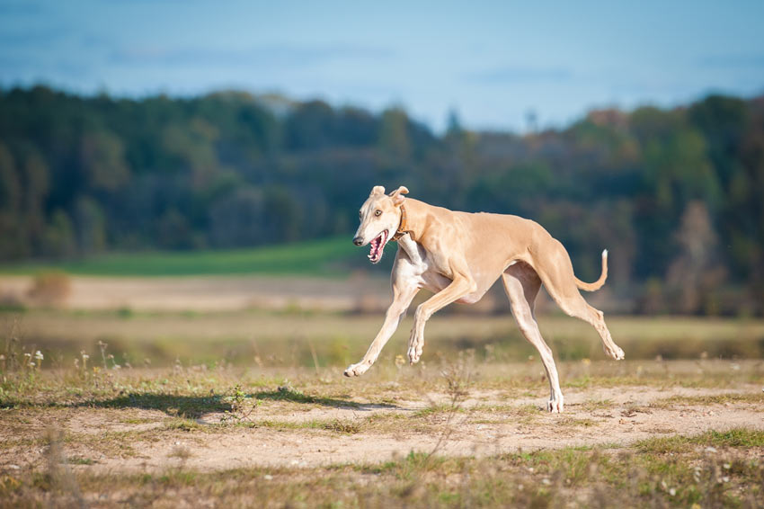 A Greyhound bred to run with lots and lots of energy