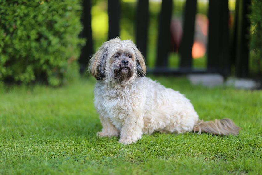 A Lhasa Apso sitting beautifully on the grass