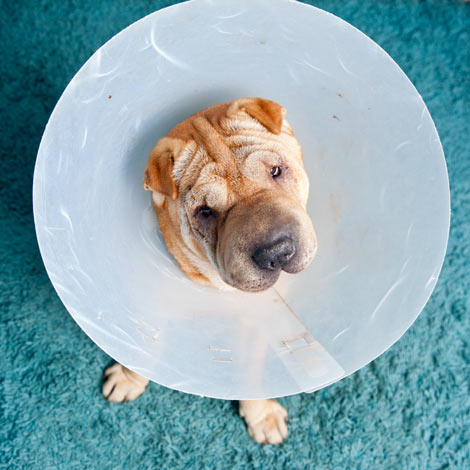 A Shar Pei wearing an Elizabethan collar after just having stitches