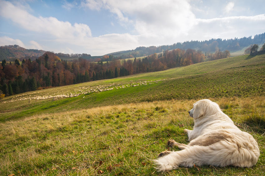 A Sheepdog resting before guarding a flock of sheep
