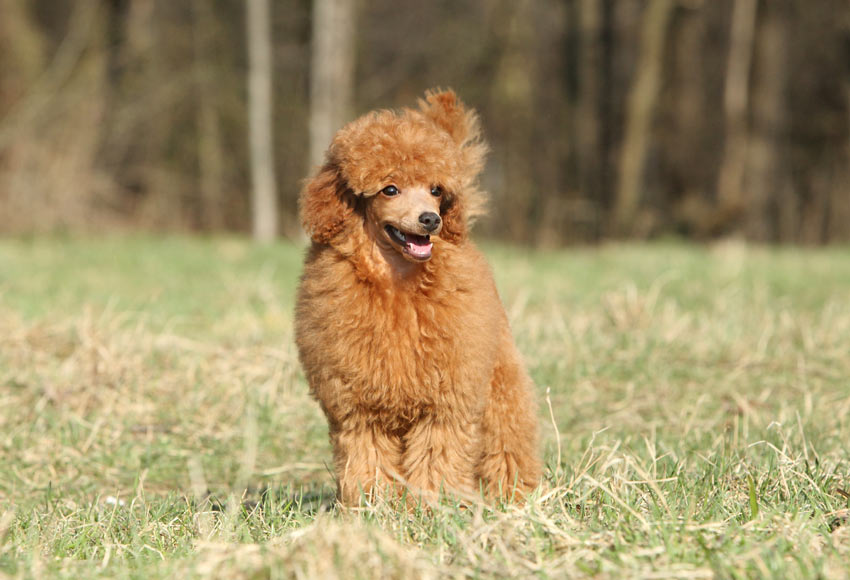A Toy Poodle with a lovely brown curly coat