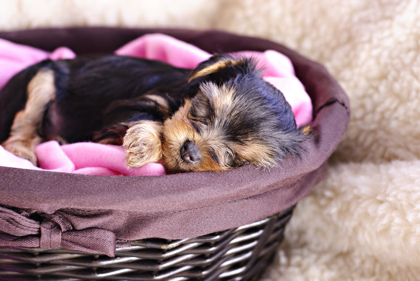 A Yorkshire Terrier puppy sleeping in its bed at night