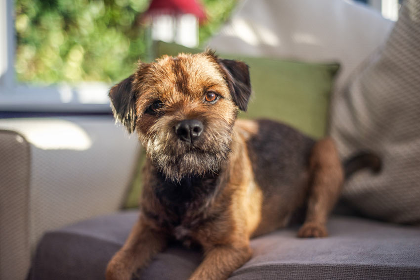 A beautiful little Border Terrier on the sofa