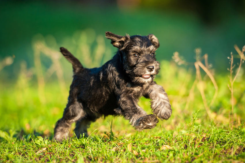 A beautiful little Miniature Schnauzer puppy with a hypoallergenic coat