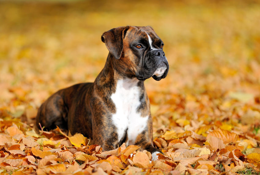 A beautiful young Boxer lying in the Autumn leaves